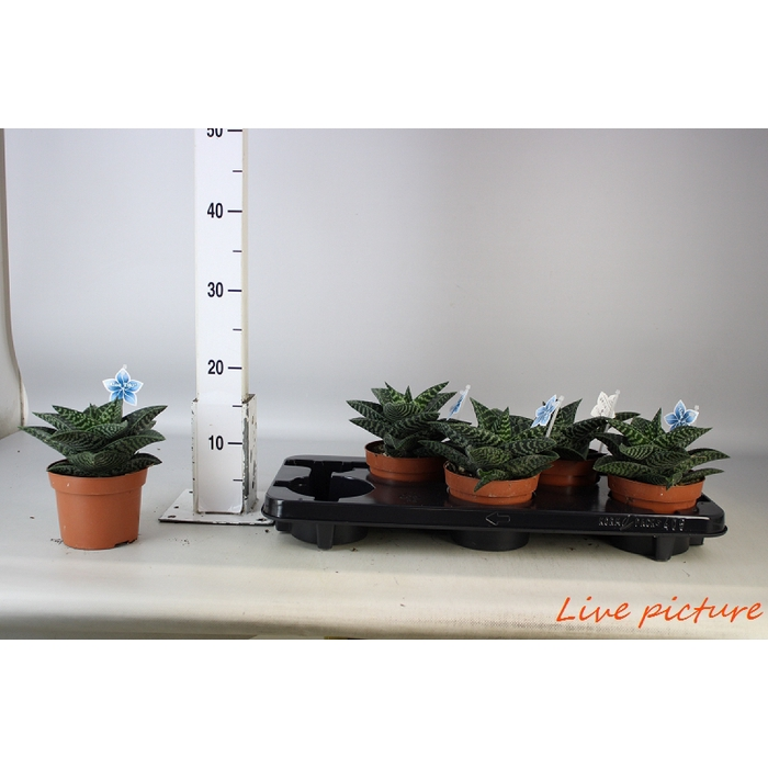 <h4>Aloe Tiki Zilla</h4>