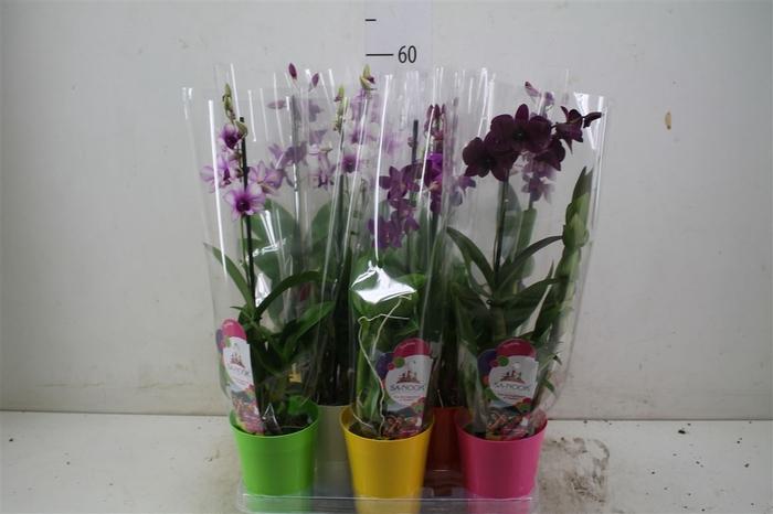 <h4>Dendrobium Gemengd 1 Tak Potcover</h4>
