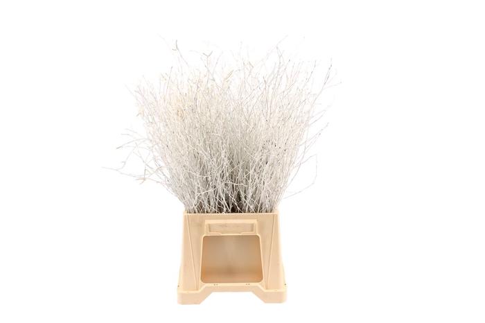<h4>Berk ( Birch ) White</h4>