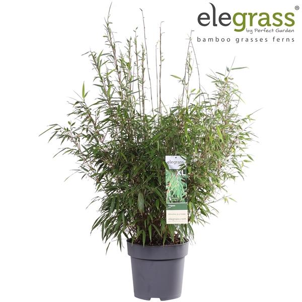 <h4>Fargesia rufa - Elegrass</h4>