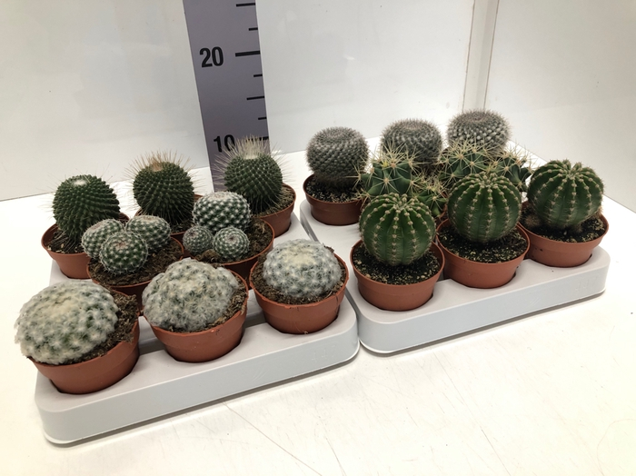 <h4>Cactus mix boll 8,5Ø 5cm MixOpRij</h4>
