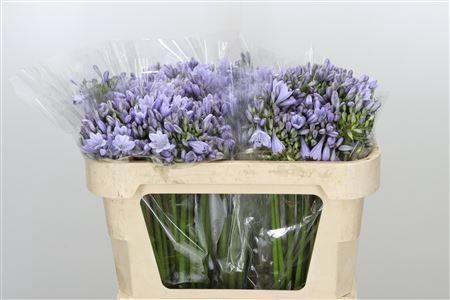 <h4>Agapanthus Lavender</h4>
