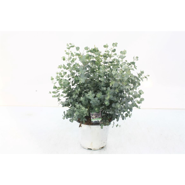 <h4>Eucalyptus Gunnii Bush</h4>