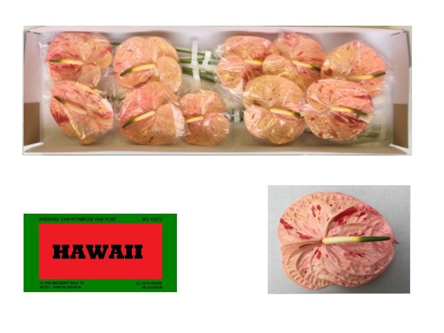 <h4>ANTH A HAWAII</h4>
