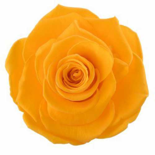 Rose Ines Saffron Yellow