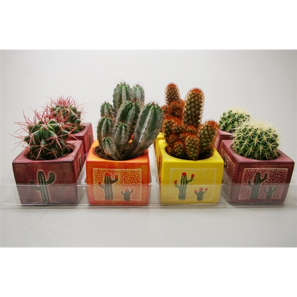 <h4>Cactus gemengd In vierkant decorpot</h4>
