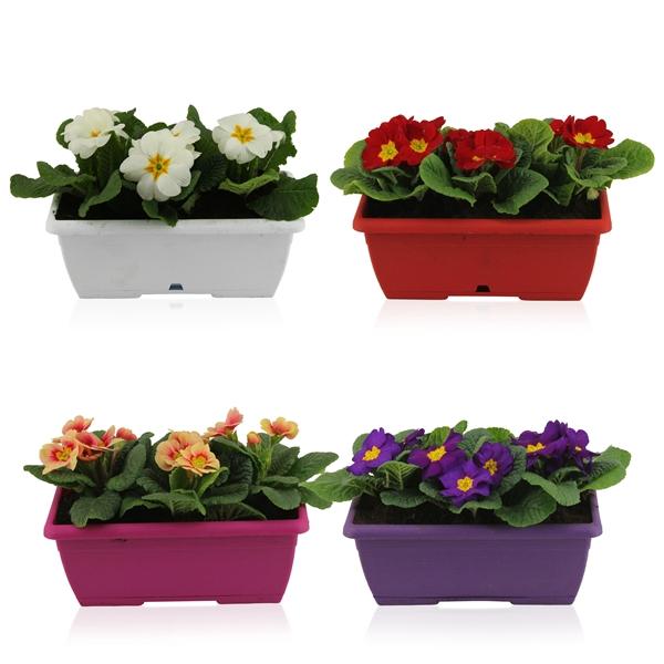 <h4>Primula Acaulis in Gemengd Duobakje</h4>