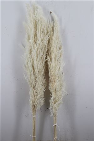 <h4>DRIED PAMPAS BLEACHED LONG 100-120C</h4>