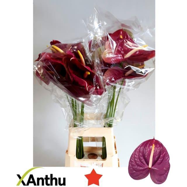 <h4>ANTH A ROXETTE</h4>