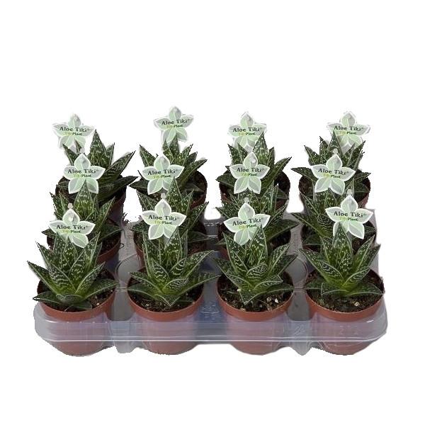 <h4>Aloe Tiki Tahi</h4>