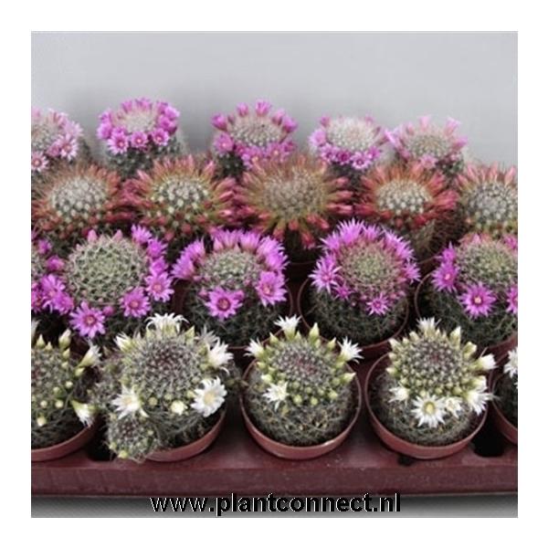 <h4>Bloeiende cactus jan / Juni</h4>