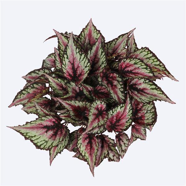 <h4>Begonia Magic Colours Salsa</h4>