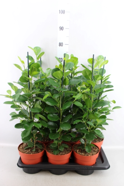 <h4>Ficus microcarpa 'Moclame'</h4>