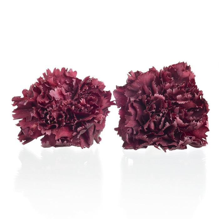 <h4>Carnation (anjer) Bordeaux 4,5-5cm</h4>
