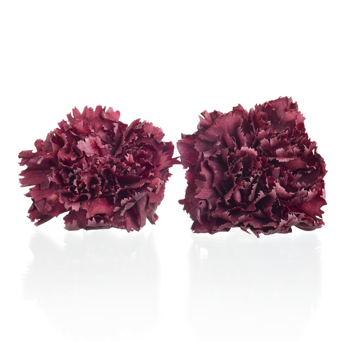 <h4>Carnation (anjer) Bordeaux 4,5-5cm</h4>