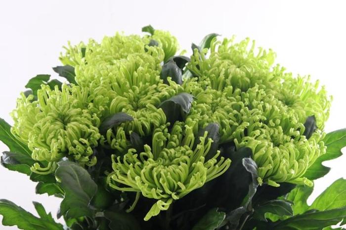 <h4>Chr G Anastasia D Green Extra</h4>