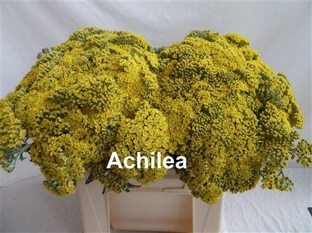 <h4>FREILAND ACHILLEA GELB</h4>