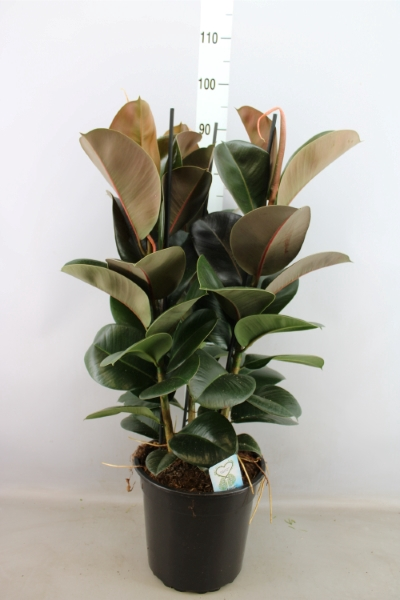 <h4>Ficus elastica 'Cloe'</h4>