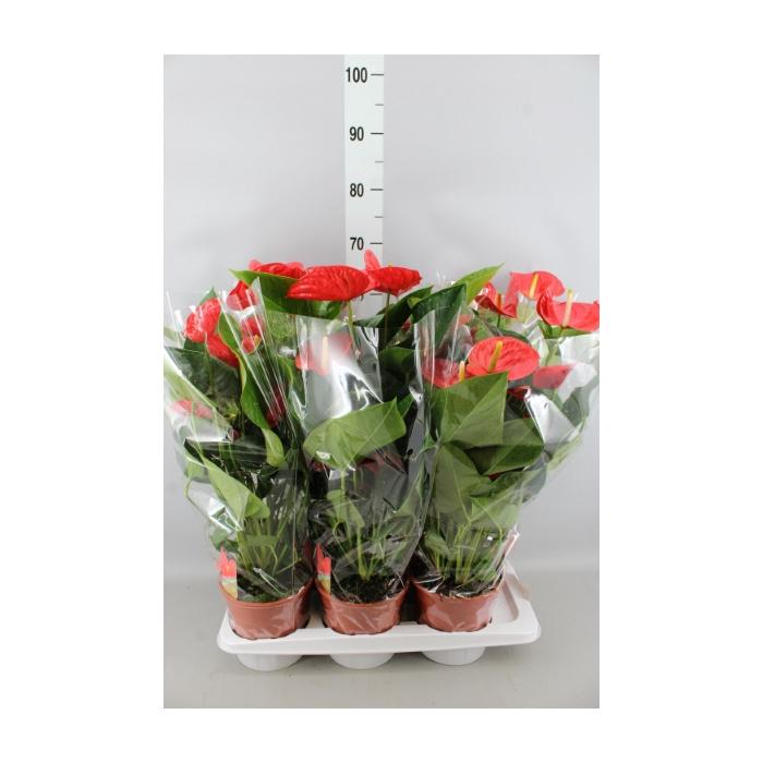 <h4>Anthurium andr. 'Red Winner'</h4>