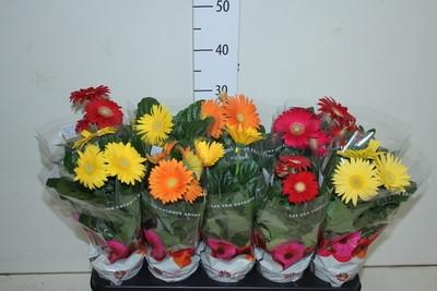 <h4>GERBERAS SURTIDAS (2 flores)</h4>