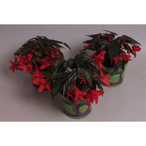 Begonia Mistral  Red