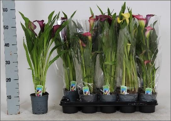 <h4>Zantedeschia gemengd 4 kleuren</h4>