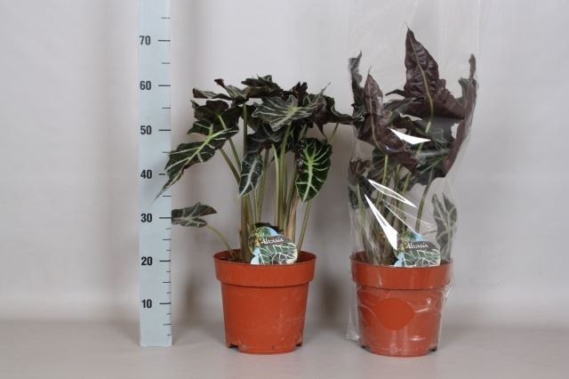 <h4>Alocasia amazonica</h4>
