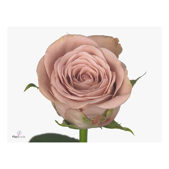 <h4>Rosa Gr. Cappuccino</h4>