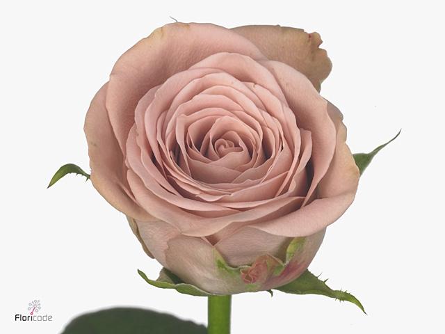 Rosa Gr. Cappuccino