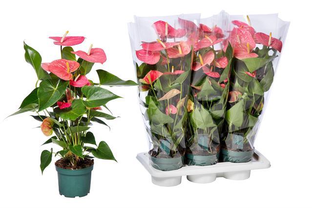 <h4>Anthurium Colorado 17Ø 80cm 5+ kwiatów</h4>