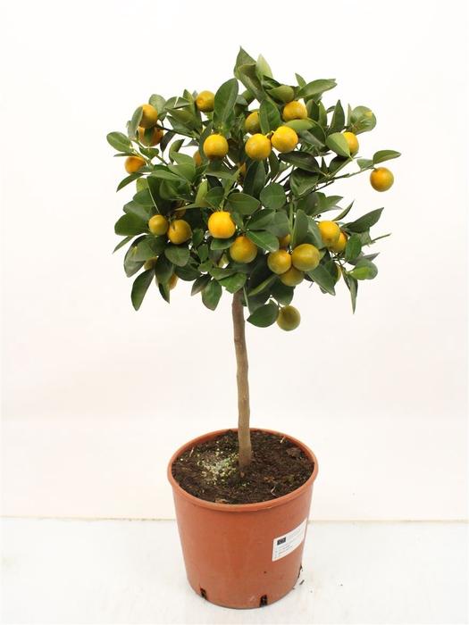 <h4>Citrus Calamondin Stem</h4>