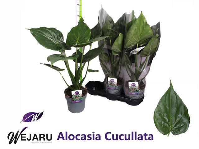 <h4>ALOC CUCULLATA</h4>