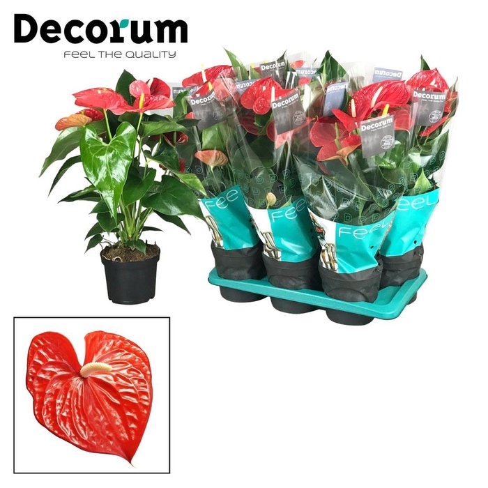 <h4>Anthurium Michigan</h4>