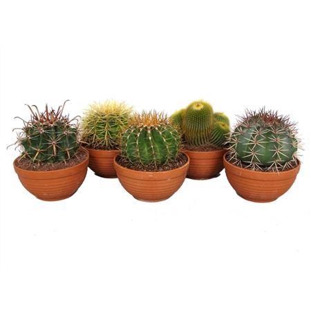 <h4>Edel- Can09 Cactus Gemengd Schaal</h4>