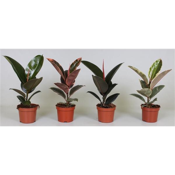 <h4>Ficus el. mix</h4>