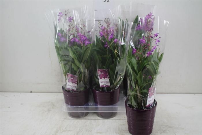 <h4>Dendrobium Berry Oda 12cm 6+ Tak Keramiek</h4>