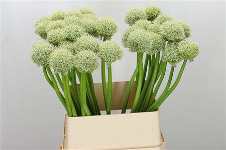 <h4>Allium White Giant</h4>