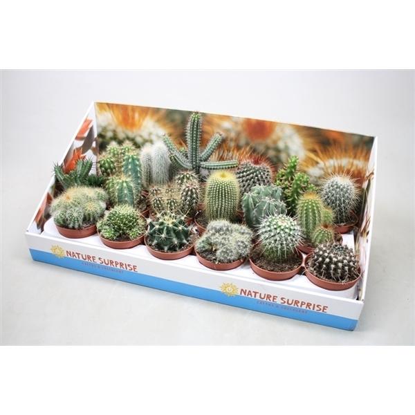 <h4>Cactus gemengd In presentatiedoos</h4>