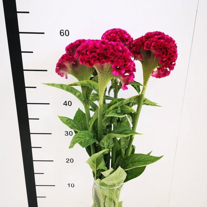 <h4>Celosia cristata fucsia</h4>