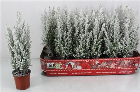 <h4>Cham L Ellwoodii Sneeuw</h4>