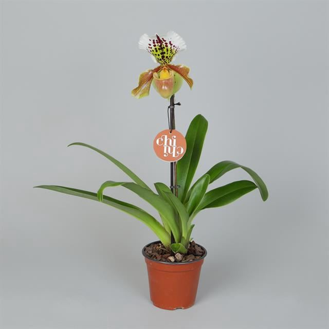 <h4>Paphiopedilum Amerikaanse hybride</h4>