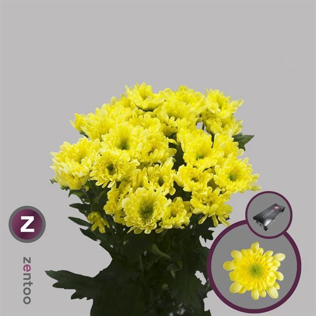 <h4>Chrysanthemum TR 'Radost Yellow'</h4>