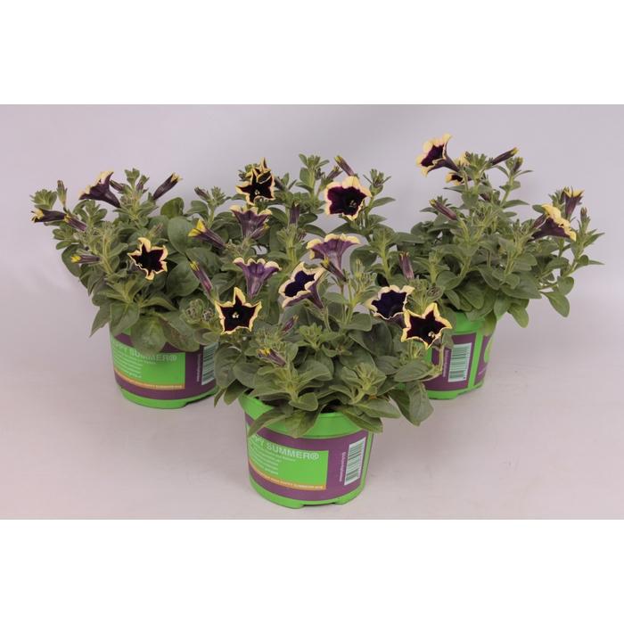 <h4>Petunia Cascadia Rim Magenta</h4>