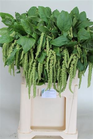 <h4>Amar Ca Green Cord</h4>