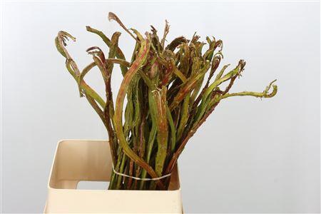 <h4>Salix Bandwilg</h4>