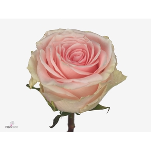 Rosa large flowered Duchesse
