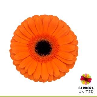 <h4>Gerbera Contigo</h4>