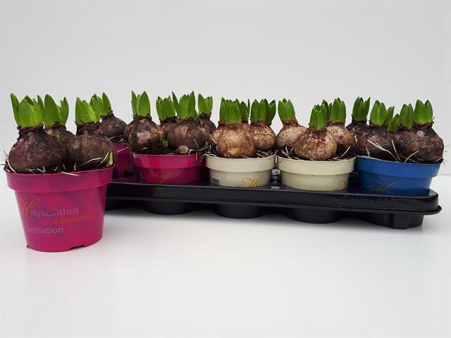 <h4>Hyacin Gem 3 Kl</h4>