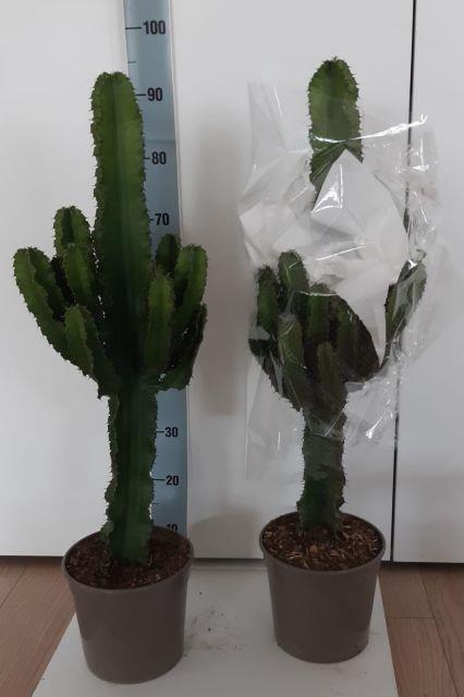 <h4>Euphorbia Ingens 21Ø 90cm</h4>