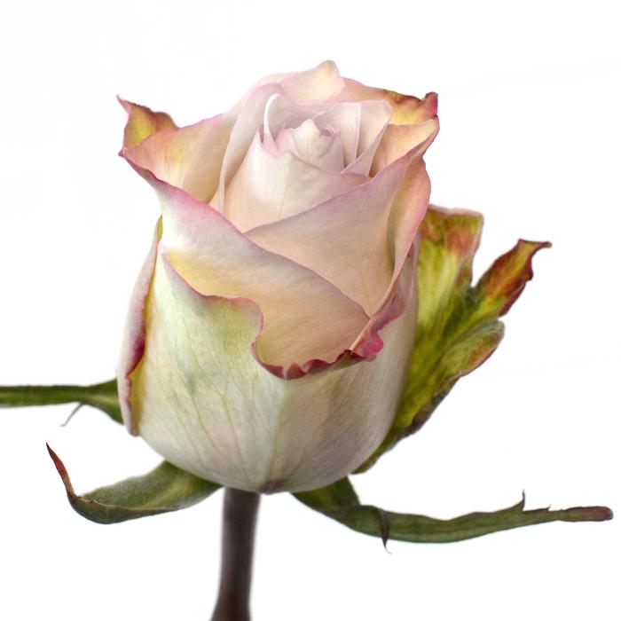 <h4>Rose Deep Silver</h4>